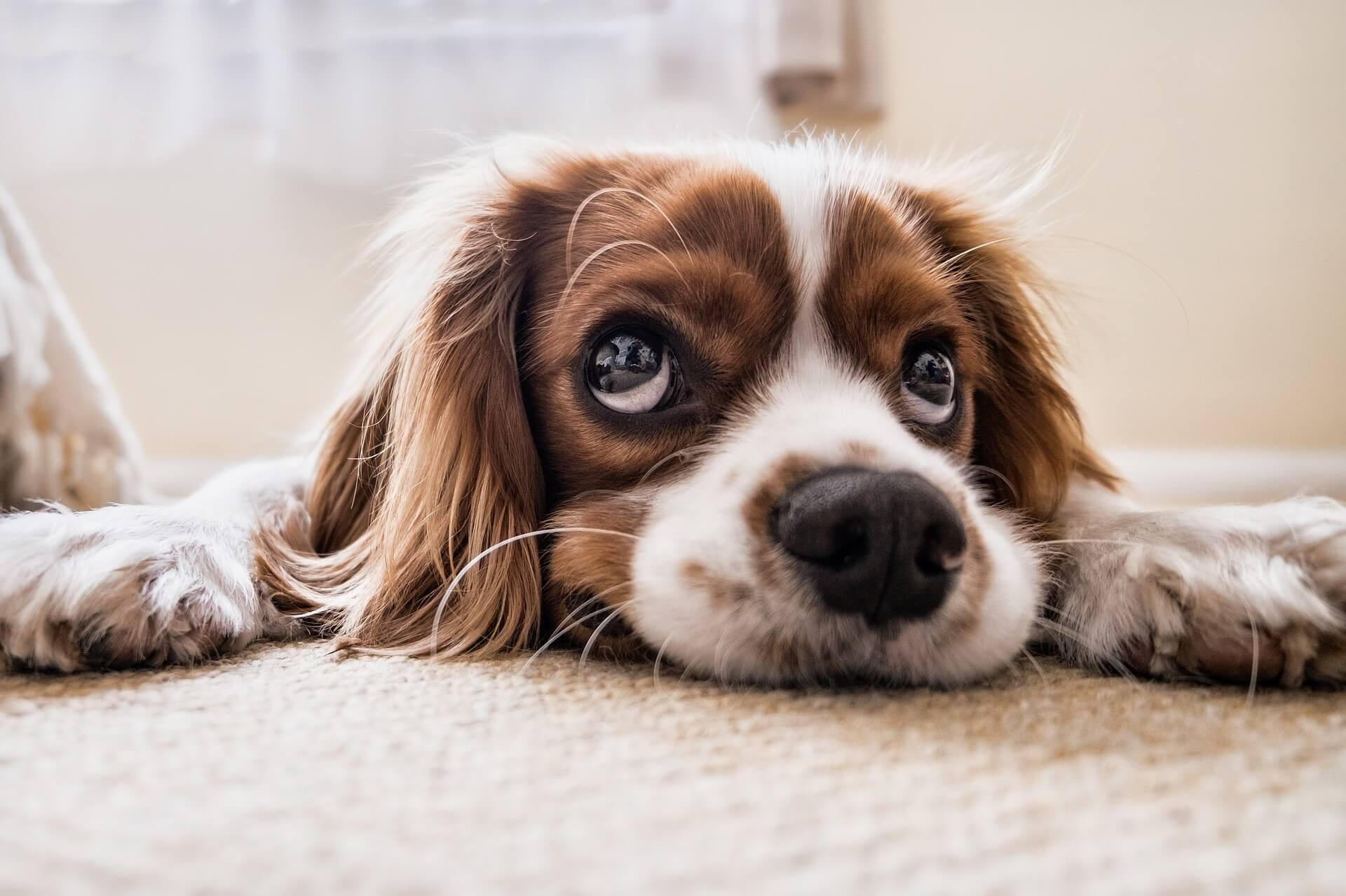 cane-in-attesa