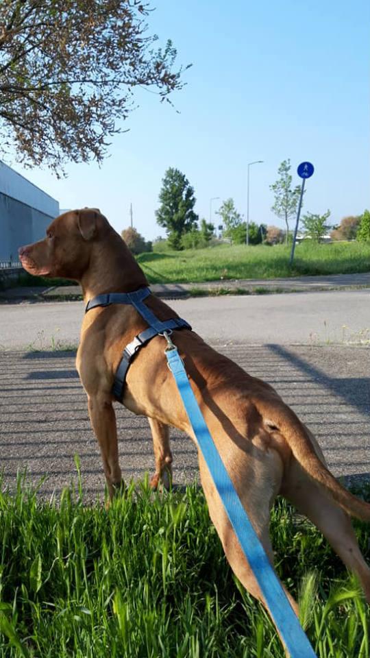 Cani in adozione Parma - Tyson